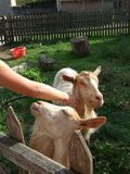 Goats Being Pet